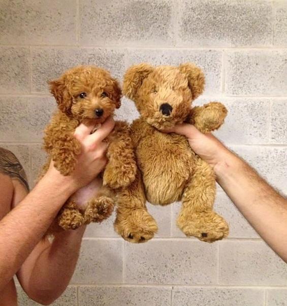 718355-chubby-puppies-bear-cub-look-alikes-6__605-605-dbd9f9ea2c-1476693988