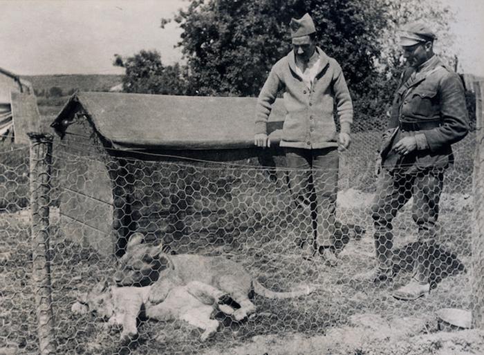 Những con vật nổi tiếng trong quân đội Mỹ Thế chiến I.8