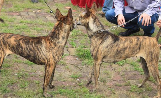 """Cần gì """"săn"""" chó ngoại, Việt Nam cũng có loài chó hiếm và đắt nhất thế giới.6"""