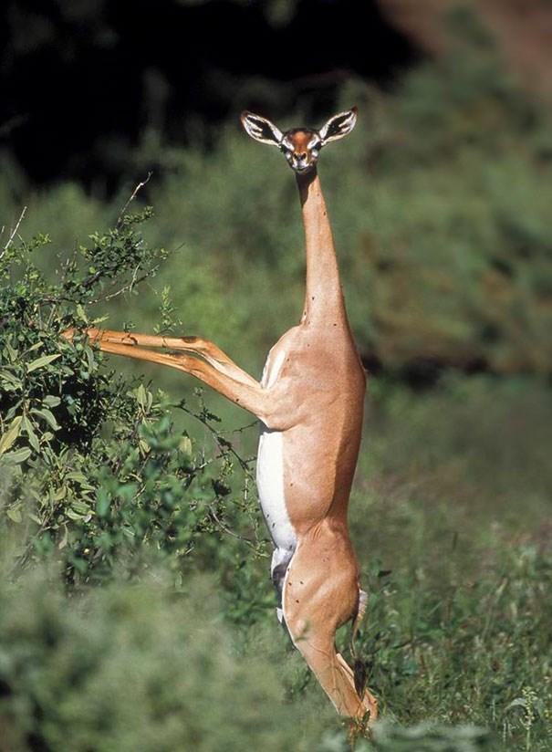 Gerenuk - một loài linh dương cổ dài.