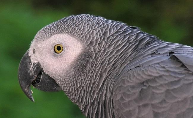 Congo-African-Grey-Parrot (1)