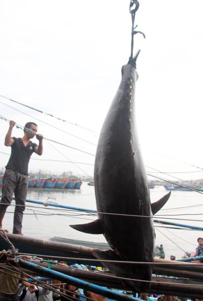 gư dân Khánh Hòa lần đầu tiên bắt được cá ngừ vây xanh.