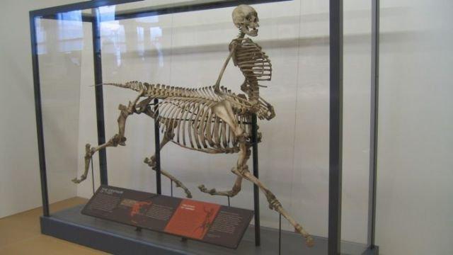 Bộ xương Nhân mã tại thư viện John C. Hodges thuộc Đại học Tennessee, Knoxville