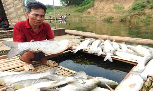 Hơn 17 tấn cá trắm nuôi và hàng tấn cá tự nhiên trên sông Bưởi đã chết do ô nhiễm.