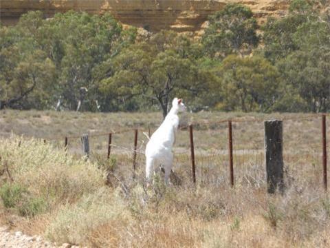 Phat-hien-kangaroo-mau-trang-hiem-co-o-Nam-Uc_1