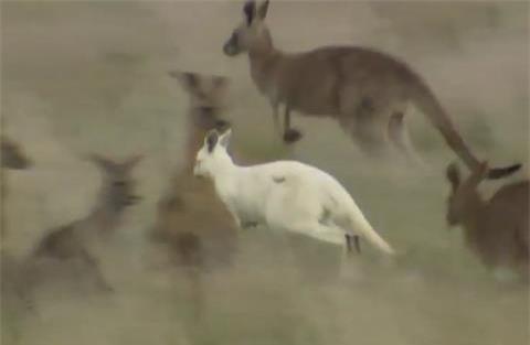 Phat-hien-kangaroo-mau-trang-hiem-co-o-Nam-Uc_2