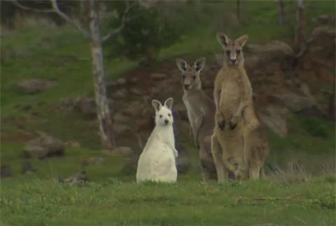 Phat-hien-kangaroo-mau-trang-hiem-co-o-Nam-Uc_3