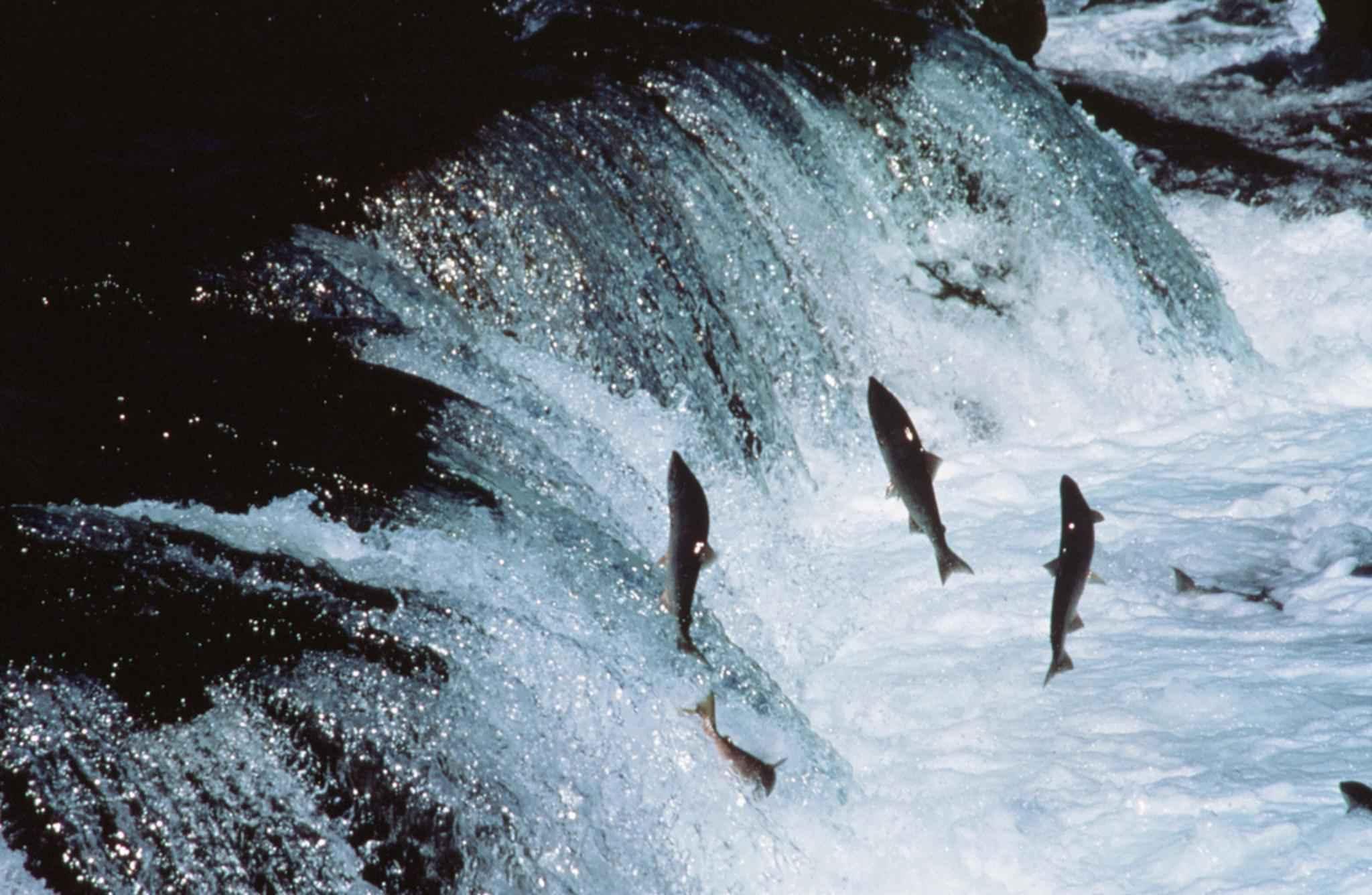 Salmon-vertical-jump