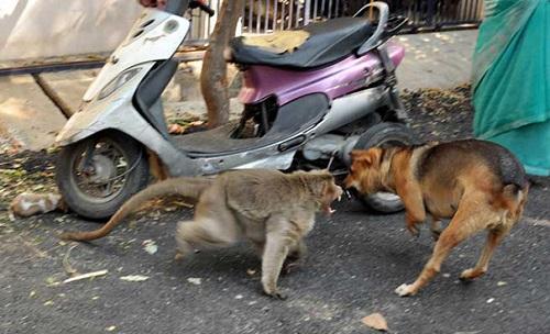 Nó bảo vệ chú chó  khỏi những con chó dữ khác gần đó.