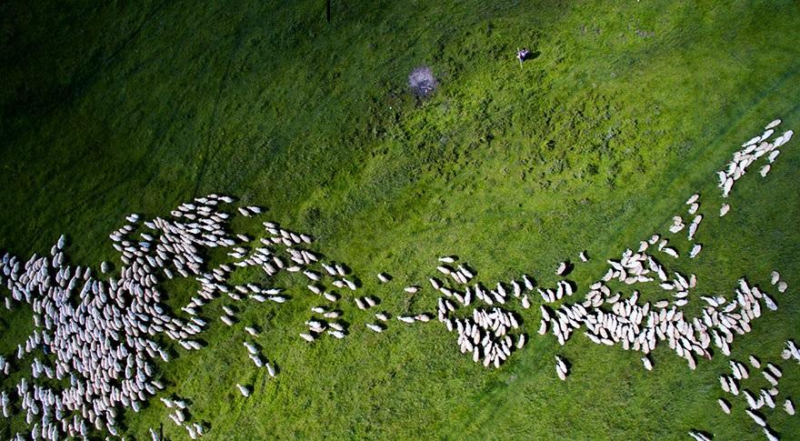 Giải nhì hạng mục Thiên nhiên hoang dã: Bầy cừu.