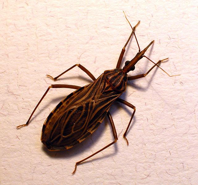 Loài bọ xít này có tên khoa học là triatominae.