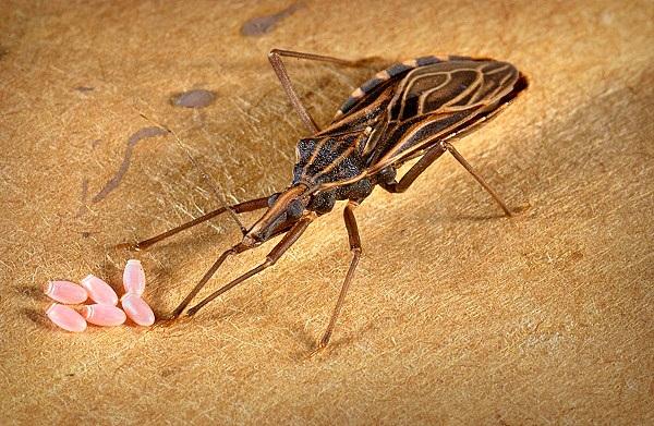 Mỗi lứa, bọ xít cái đẻ 150 – 200 trứng. Sau khoảng 16 – 18 ngày, trứng sẽ nở ra bọ xít non. Nếu để một con bọ xít cái trong nhà khoảng 20 ngày, nơi đó sẽ trở thành ổ bọ xít với hàng trăm con.