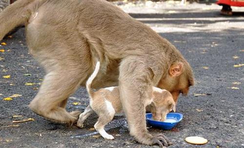 Thậm chí khỉ mẹ còn nhường cho chú chó ăn trước, sau đó mới ăn phần còn lại