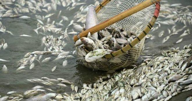 Cá chết hàng loạt ở Việt Nam vì ô nhiễm môi trường đã được quốc tế để tâm.