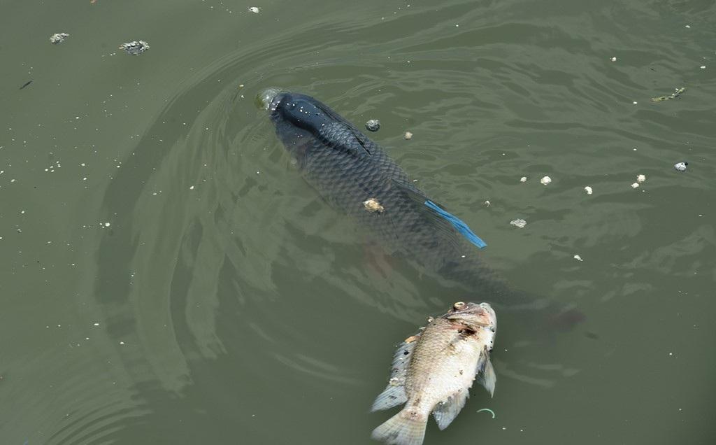 Những con cá lớn thường sống tầng dưới như trắm, trê cũng nổi lên mặt nước.