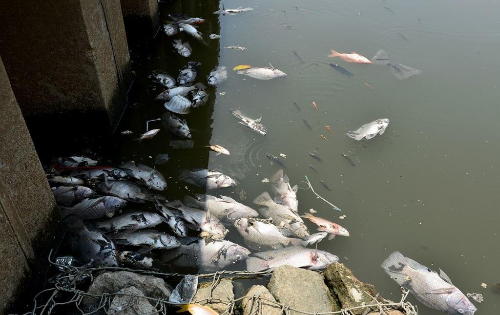 Một số loài khác như cá mè, trê, điêu hồng, cá trắm cũng chung số phận. Theo một số người dân sống gần kênh Nhiêu Lộc, hàng năm vào những đợt mưa lớn đầu mùa thì cá lại chết nổi trắng kênh.