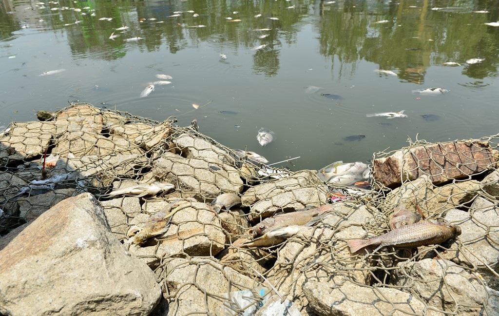 """Từng lớp cá chết trắng, bắt đầu bốc mùi hôi thối trôi dạt sang 2 bên bờ. Ông Phan Huy Tùng (ngụ đường Hoàng Sa, quận 3) cho biết, những năm qua đều chứng kiến cảnh này. Cứ đến đợt mưa lớn đầu mùa, rác lại nổi lềnh bềnh cùng cá chết. """"Có thể khi mưa lớn, nước bẩn mang theo các hóa chất như xăng, dầu, nhớt rơi xuống, nước thải bẩn gây ô nhiễm dòng kênh"""", người này cho hay."""