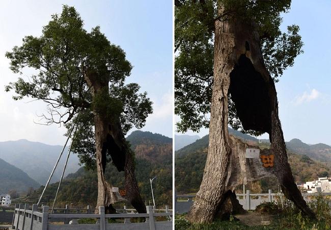 Kỳ lạ cây cổ thụ 300 năm tuổi bị rỗng ruột vẫn sống sót chỉ nhờ... hai mảnh vỏ (1)
