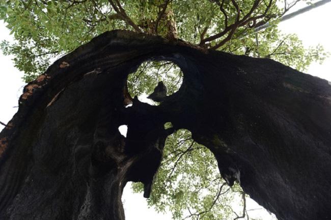 Kỳ lạ cây cổ thụ 300 năm tuổi bị rỗng ruột vẫn sống sót chỉ nhờ... hai mảnh vỏ (3)