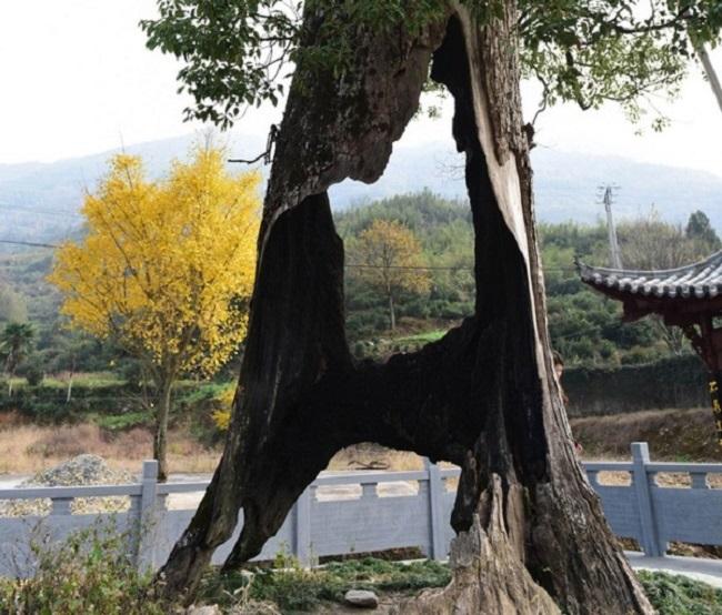 Kỳ lạ cây cổ thụ 300 năm tuổi bị rỗng ruột vẫn sống sót chỉ nhờ... hai mảnh vỏ(4)