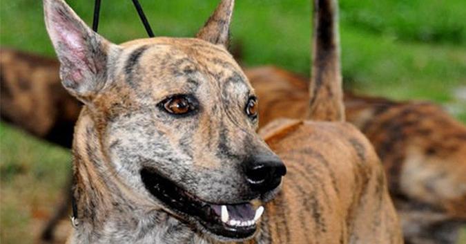 """Cần gì """"săn"""" chó ngoại, Việt Nam cũng có loài chó hiếm và đắt nhất thế giới.1"""