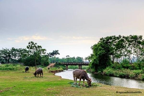 Đàn trâu nhởn nhơ gặm cỏ bên cầu, dòng sông, tạo nên khung cảnh thật thanh bình.