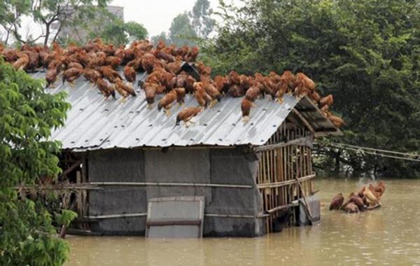 Đàn gà chen chúc trên mái nhà vì chuồng của chúng đã ngập sâu dưới nước sau khi cơn bão Utor đổ vào tỉnh Quảng Châu, Trung Quốc.