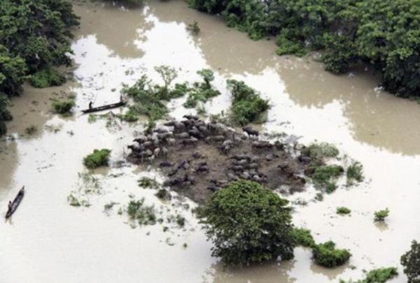 Đàn trâu bị cô lập giữa bốn bề nước lũ tại Ấn Độ.