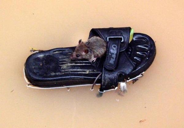 """""""Chiếc thuyền"""" của chuột."""