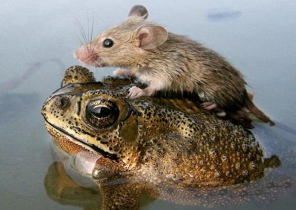 """Chuột """"nương tựa"""" cóc."""