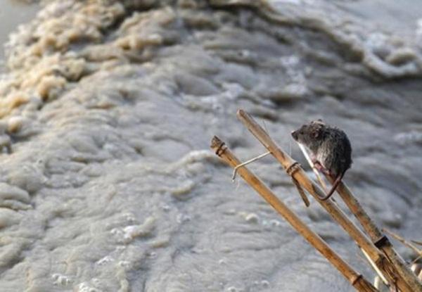 Chuột nhỏ bám chặt vào cành cây để không bị dòng lũ sông Yamuna (Ấn Độ) cuốn trôi.