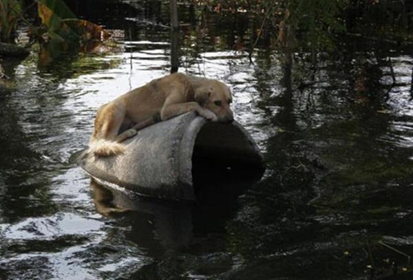 Chú chó nằm chơi vơi trên đoạn ống cống chờ cứu hộ tại Thái Lan.