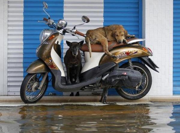 """Hai chú chó """"ngán ngẩm"""" cảnh nước ngập tại thủ đô Bangkok, Thái Lan."""