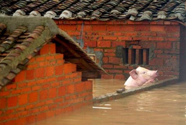 Lợn bám vào tường để không bị ngạt nước ở Quảng Đông, Trung Quốc.
