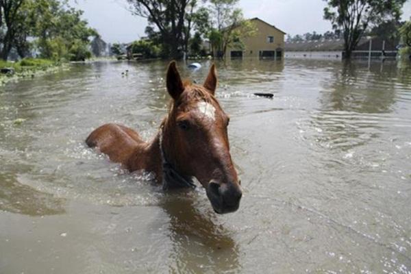 Ngựa bơi giữa dòng nước lũ.