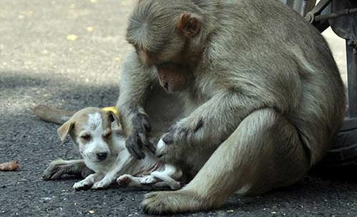 Khỉ mẹ chăm sóc chú chó như thế nó là con đẻ của mình.
