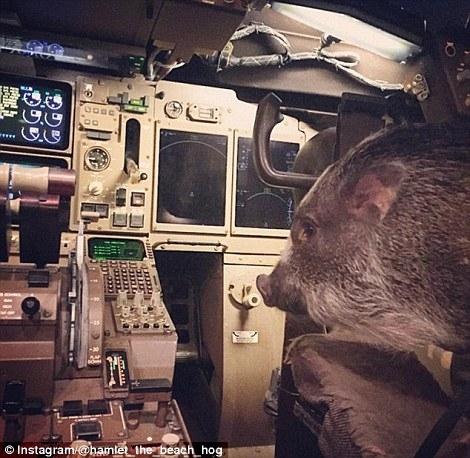 Lợn Hamlet tò mò khi được đi máy bay.