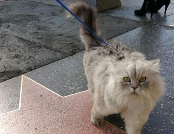 Mèo Gandalf ở đại lộ danh vọng.