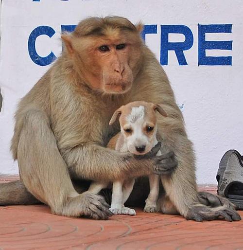 Tình cảm của mẹ khỉ dành cho chó con khiến người dân chứng kiến vô cùng cảm động.