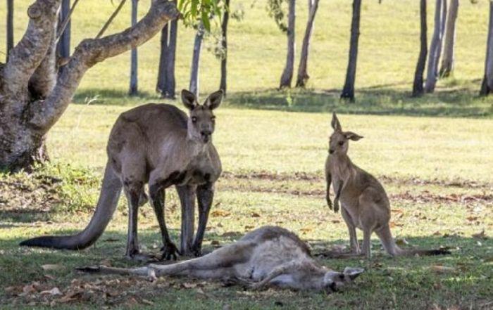hai-bo-con-kangaroo-ngo-ngang-khi-nhin-me-bat-dong-anh-internet-tin8-1