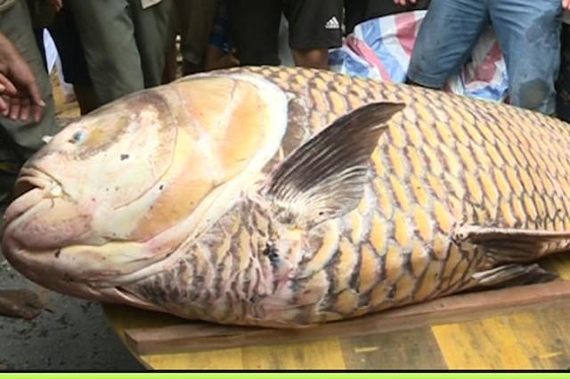 Cá hô đã được thương lái mua với giá 315 triệu đồng. (Ảnh E.X)