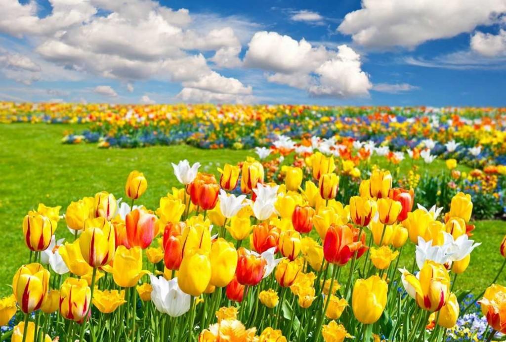 hoa-tulip-o-ha-lan-dep-me-ly-039-4