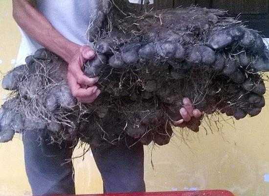 Củ khoai mỡ nặng 23kg của gia đình bà Bướm. (Ảnh: Internet)