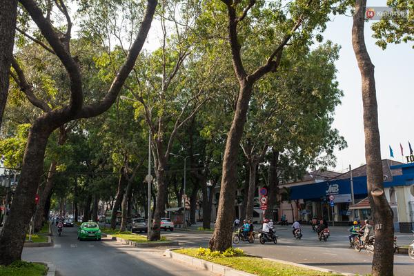 """Có khoảng 300 cây trên đường Tôn Đức Thắng, Quận 1 sẽ bị đốn hạ hàng loạt để xây cầu Thủ Thiêm 2. Người dân Sài Gòn vô cùng tiếc nuối """"con đường màu xanh"""" gần gũi."""
