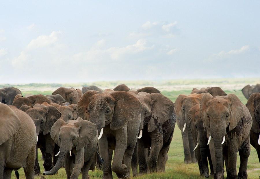 ivory-and-agony-elephants-vf
