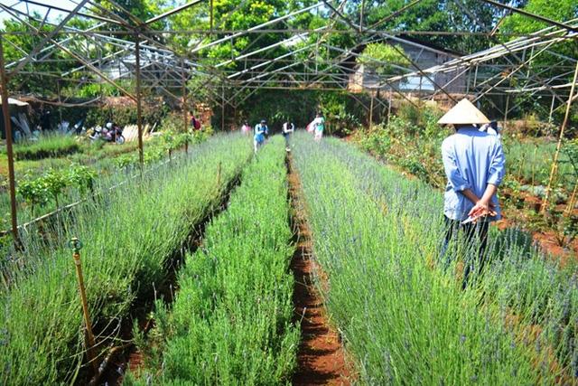 Hoa được trồng theo luống, bán theo cành với giá 2.000 đồng một cành tại vườn.