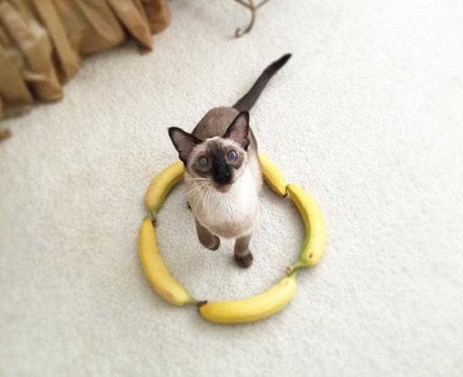 Hay thậm chí 1 vòng tròn bằng… chuối cũng rất thu hút các chú mèo (ảnh: Internet)