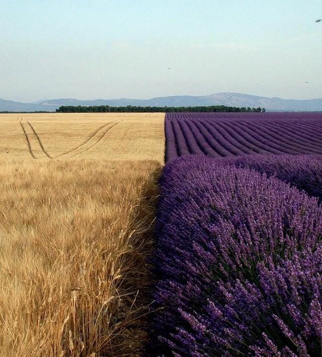 Hình ảnh cánh đồng trải dài với một bên là lúa mạch và một bên là hoa oải hương chắc chắn sẽ khiến bạn cực phấn khích.