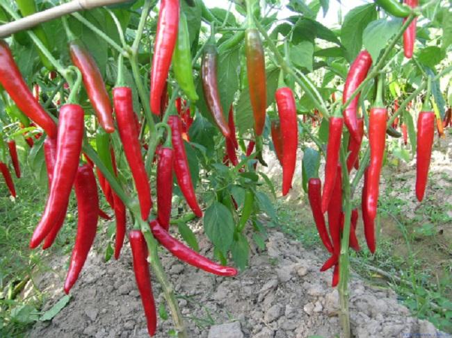 Mưa kéo dài khiến ớt bị hư hỏng nặng nên giá tăng cao.