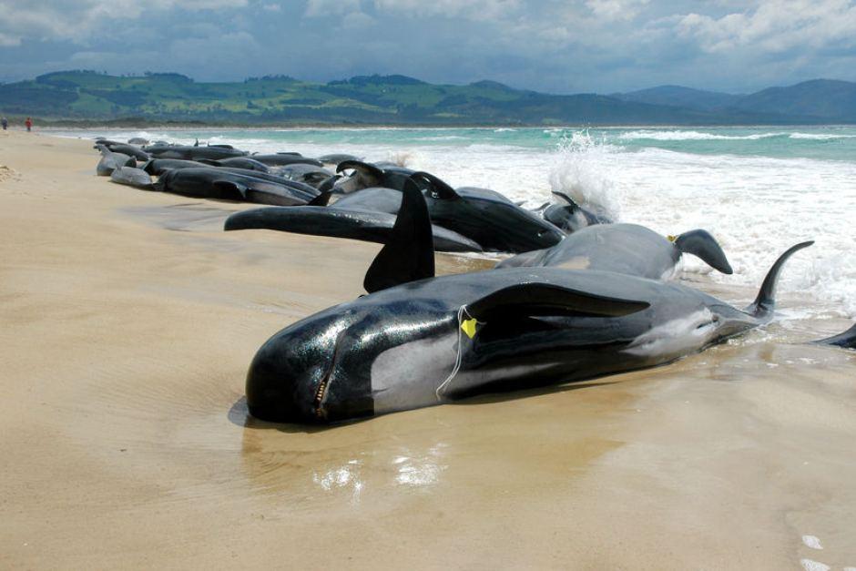 pilot-whales-tasmania